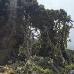 Kilimanjaro fauna